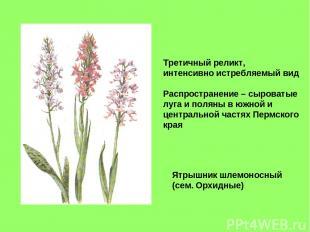 Ятрышник шлемоносный (сем. Орхидные) Третичный реликт, интенсивно истребляемый в