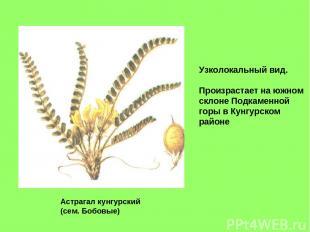 Астрагал кунгурский (сем. Бобовые) Узколокальный вид. Произрастает на южном скло