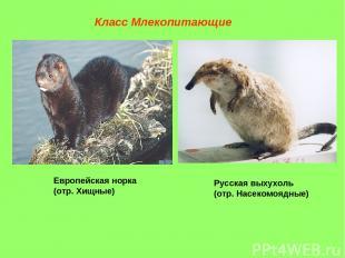 Класс Млекопитающие Европейская норка (отр. Хищные) Русская выхухоль (отр. Насек