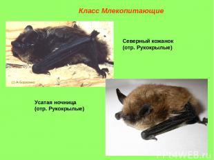 Северный кожанок (отр. Рукокрылые) Усатая ночница (отр. Рукокрылые) Класс Млекоп