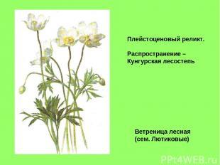 Ветреница лесная (сем. Лютиковые) Плейстоценовый реликт. Распространение – Кунгу