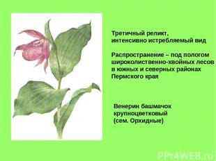 Венерин башмачок крупноцветковый (сем. Орхидные) Третичный реликт, интенсивно ис
