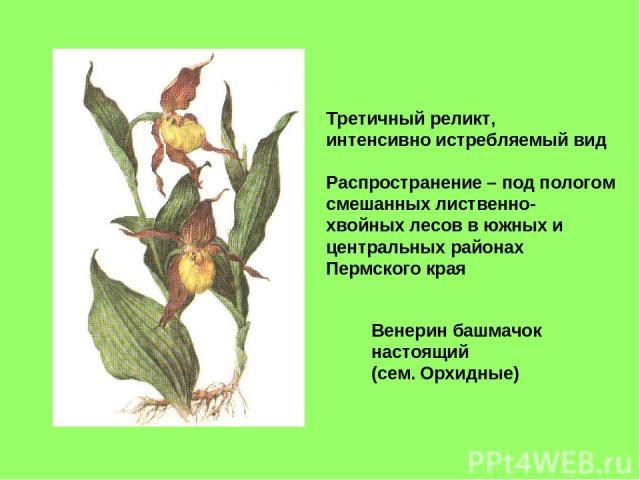 Венерин башмачок настоящий (сем. Орхидные) Третичный реликт, интенсивно истребляемый вид Распространение – под пологом смешанных лиственно- хвойных лесов в южных и центральных районах Пермского края