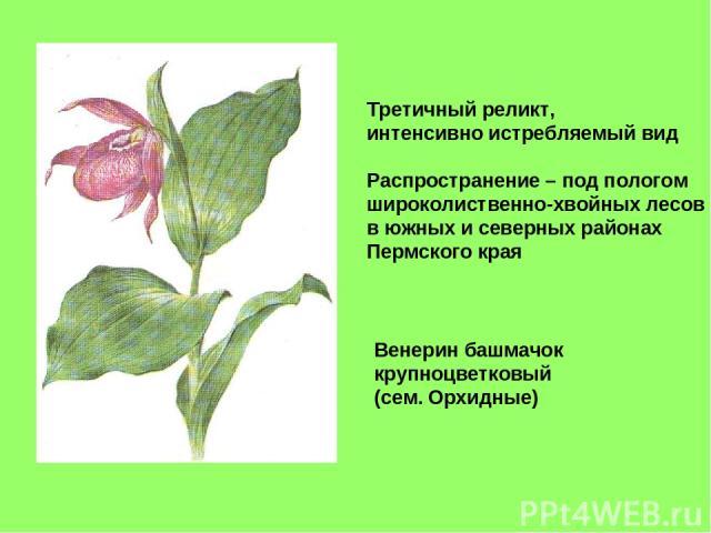 Венерин башмачок крупноцветковый (сем. Орхидные) Третичный реликт, интенсивно истребляемый вид Распространение – под пологом широколиственно-хвойных лесов в южных и северных районах Пермского края