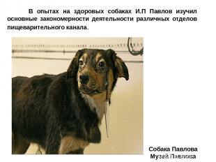 Собака Павлова Музей Павлова В опытах на здоровых собаках И.П Павлов изучил осно