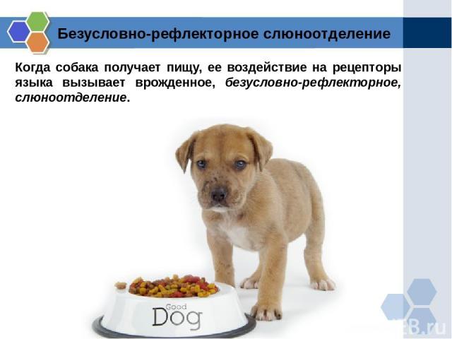 Когда собака получает пищу, ее воздействие на рецепторы языка вызывает врожденное, безусловно-рефлекторное, слюноотделение. Безусловно-рефлекторное слюноотделение