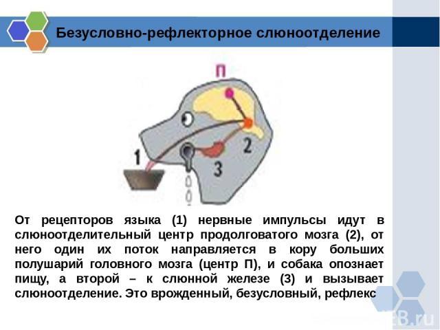 От рецепторов языка (1) нервные импульсы идут в слюноотделительный центр продолговатого мозга (2), от него один их поток направляется в кору больших полушарий головного мозга (центр П), и собака опознает пищу, а второй – к слюнной железе (3) и вызыв…