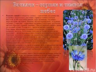 Василек синий (Centaurea cyanus) – однолетник из семейства астровых (Asteraceae)