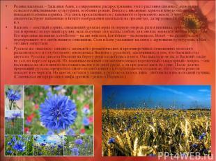 Родина василька – Западная Азия, а современное распространение этого растения св