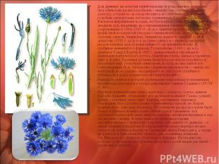 Для древних же египтян синий василек (и родственные ему виды) был символом жизни