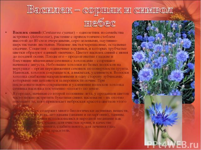 Василек синий (Centaurea cyanus) – однолетник из семейства астровых (Asteraceae), растение с прямостоячим стеблем высотой до 80 см и очередными, серо-зелеными, паутинно-шерстистыми листьями. Нижние листья черешковые, остальные сидячие. Соцветия – од…