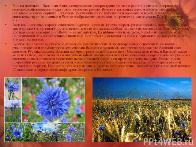 Родина василька – Западная Азия, а современное распространение этого растения связано с зерновыми сельскохозяйственными культурами, особенно рожью. Вместе с ввозимым зерном в новую местность попадали и семена сорняка. Эта связь прослеживается с каме…