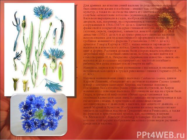 Для древних же египтян синий василек (и родственные ему виды) был символом жизни и изобилия – именно как спутник зерновых культур, а также из-за сходства цвета его цветков с почитаемым голубым «египетским лотосом» (кувшинкой Nymphaea coerulea). Васи…