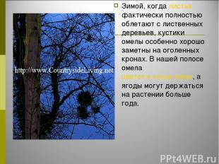 Зимой, когда листья фактически полностью облетают с лиственных деревьев, кустики