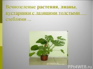 Вечнозеленые растения, лианы, кустарники с лазящими толстыми стеблями ...