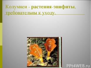 Колумнеи - растения-эпифиты, требовательны к уходу.