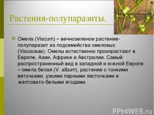 Растения-полупаразиты. Омела (Viscum) – вечнозеленое растение-полупаразит из под