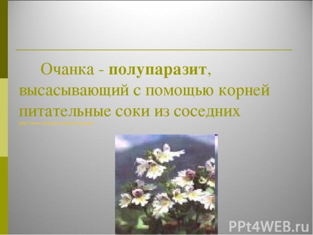 Очанка - полупаразит, высасывающий с помощью корней питательные соки из соседних http://www.adventus.infora/documents