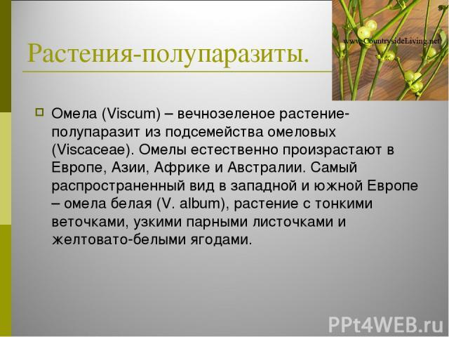 Растения-полупаразиты. Омела (Viscum) – вечнозеленое растение-полупаразит из подсемейства омеловых (Viscaceae). Омелы естественно произрастают в Европе, Азии, Африке и Австралии. Самый распространенный вид в западной и южной Европе – омела белая (V.…