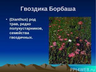 Гвоздика Борбаша (Dianthus) род трав, редко полукустарников, семейства гвоздичны