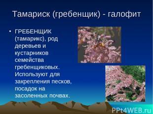 Тамариск (гребенщик) - галофит ГРЕБЕНЩИК (тамарикс), род деревьев и кустарников