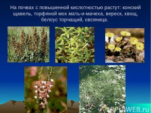 На почвах с повышенной кислотностью растут: конский щавель, торфяной мох мать-и-