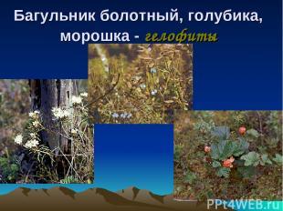 Багульник болотный, голубика, морошка - гелофиты
