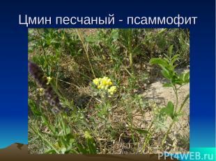 Цмин песчаный - псаммофит