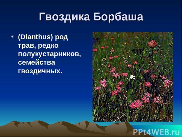 Гвоздика Борбаша (Dianthus) род трав, редко полукустарников, семейства гвоздичных.