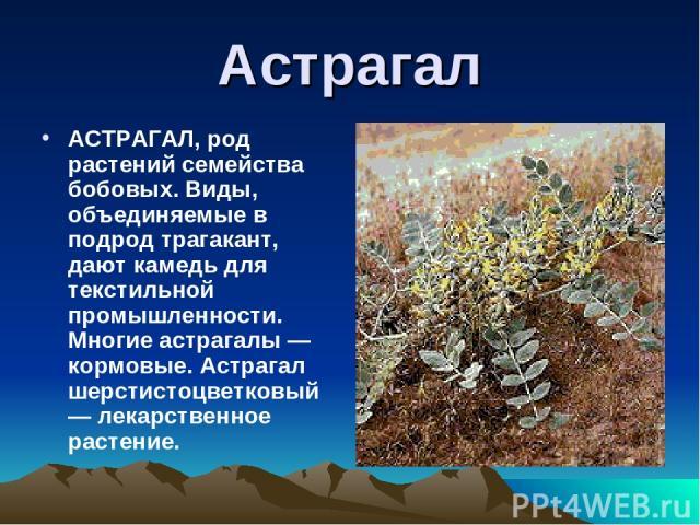 Астрагал АСТРАГАЛ, род растений семейства бобовых. Виды, объединяемые в подрод трагакант, дают камедь для текстильной промышленности. Многие астрагалы — кормовые. Астрагал шерстистоцветковый — лекарственное растение.