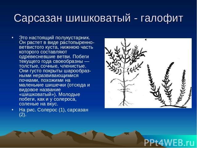 Сарсазан шишковатый - галофит Это настоящий полукустарник. Он растет в виде растопыренно-ветвистого куста, нижнюю часть которого составляют одревесневшие ветви. Побеги текущего года своеобразны — толстые, сочные, членистые. Они густо покрыты шарообр…