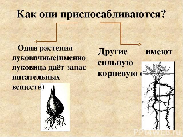 Как они приспосабливаются? Одни растения луковичные(именно луковица даёт запас питательных веществ) Другие имеют сильную корневую систему