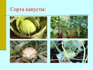 Сорта капусты: Капуста белокочанная Капуста брюссельская Капуста цветная Капуста