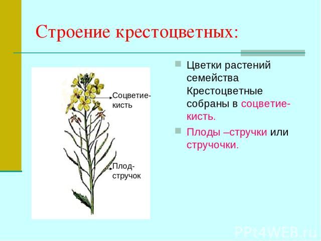 Строение крестоцветных: Цветки растений семейства Крестоцветные собраны в соцветие- кисть. Плоды –стручки или стручочки. Соцветие- кисть Плод- стручок