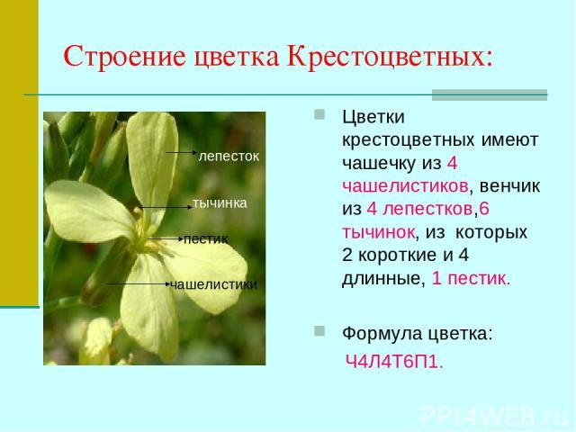 Строение цветка Крестоцветных: Цветки крестоцветных имеют чашечку из 4 чашелистиков, венчик из 4 лепестков,6 тычинок, из которых 2 короткие и 4 длинные, 1 пестик. Формула цветка: Ч4Л4Т6П1. лепесток чашелистики тычинка пестик