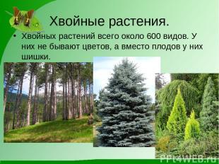 Хвойные растения. Хвойных растений всего около 600 видов. У них не бывают цветов