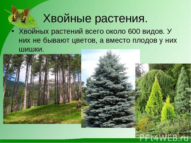 Хвойные растения. Хвойных растений всего около 600 видов. У них не бывают цветов, а вместо плодов у них шишки.