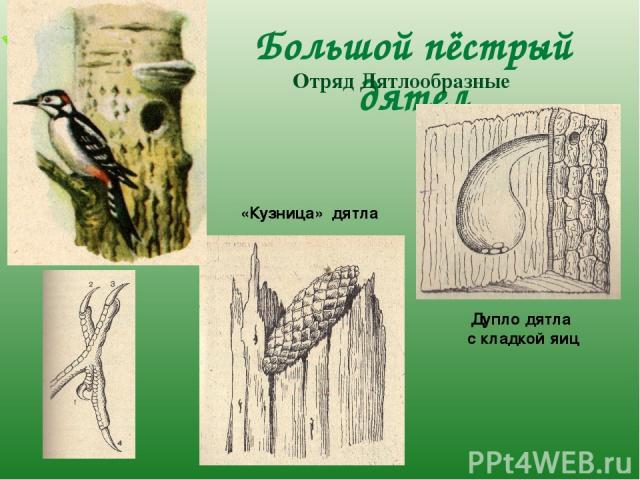 Большой пёстрый дятел Отряд Дятлообразные «Кузница» дятла Дупло дятла с кладкой яиц