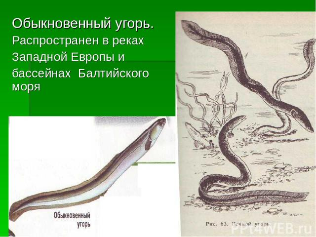 Обыкновенный угорь. Распространен в реках Западной Европы и бассейнах Балтийского моря
