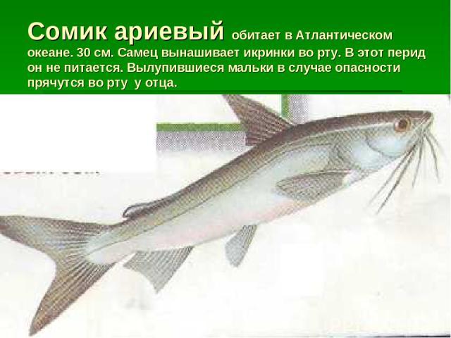Сомик ариевый обитает в Атлантическом океане. 30 см. Самец вынашивает икринки во рту. В этот перид он не питается. Вылупившиеся мальки в случае опасности прячутся во рту у отца.