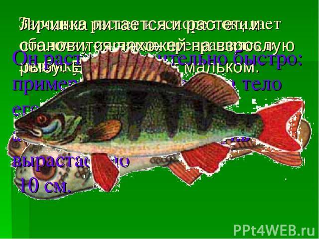 Зародыш растет и вскоре покидает оболочку икринки, превращаясь в личинку. Личинка питается и растет, и становится похожей на взрослую рыбу. Её называют мальком. Он растет сравнительно быстро: примерно через 2 месяца тело его бывает длиной 2 см, а че…