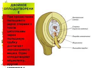 ДВОЙНОЕ ОПЛОДОТВОРЕНИЕ При прорастании пыльцевого зерна спермии с током цитоплаз