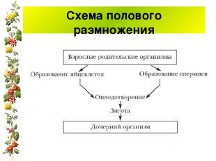 Схема полового размножения