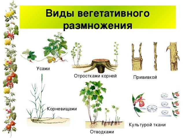 Виды вегетативного размножения Усами Корневищами Отростками корней Отводками Прививкой Культурой ткани