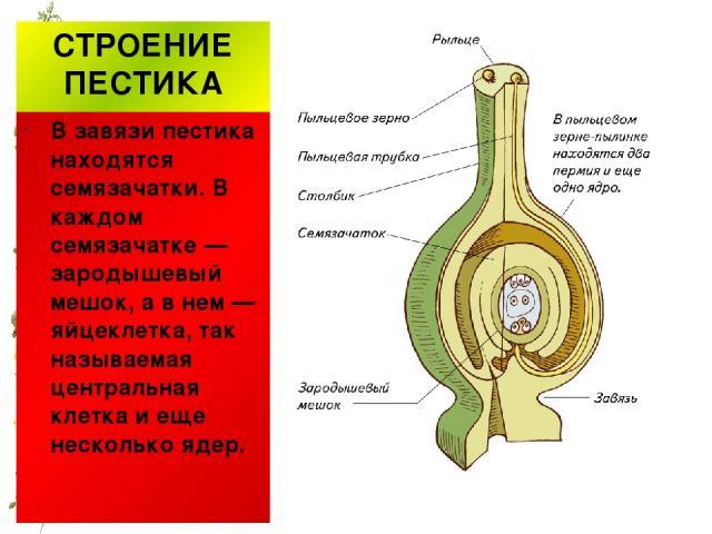 СТРОЕНИЕ ПЕСТИКА В завязи пестика находятся семязачатки. В каждом семязачатке — зародышевый мешок, а в нем — яйцеклетка, так называемая центральная клетка и еще несколько ядер.