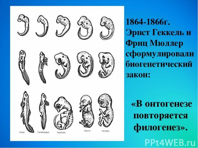 «В онтогенезе повторяется филогенез». 1864-1866г. Эрнст Геккель и Фриц Мюллер сформулировали биогенетический закон: