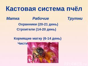 Кастовая система пчёл Матка Рабочие Трутни Охранники (20-21 день) Строители (14-