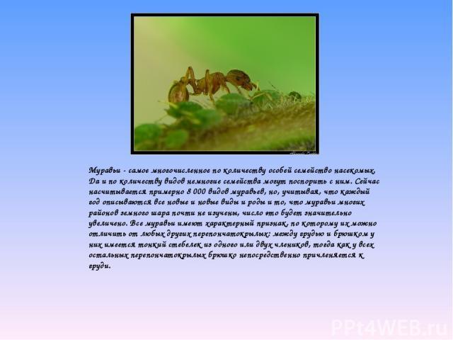 Муравьи - самое многочисленное по количеству особей семейство насекомых. Да и по количеству видов немногие семейства могут поспорить с ним. Сейчас насчитывается примерно 8 000 видов муравьев, но, учитывая, что каждый год описываются все новые и но…