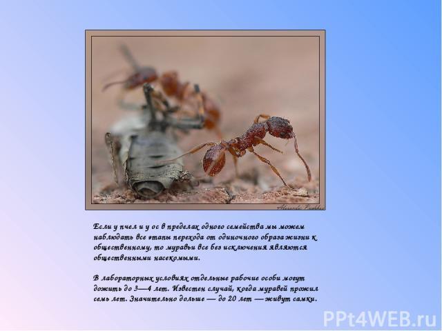 Если у пчел и у ос в пределах одного семейства мы можем наблюдать все этапы перехода от одиночного образа жизни к общественному, то муравьи все без исключения являются общественными насекомыми.  В лабораторных условиях отдельные рабочие особи мог…