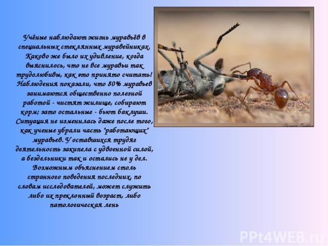 Учёные наблюдают жизнь муравьёв в специальных стеклянных муравейниках. Каково же было их удивление, когда выяснилось, что не все муравьи так трудолюбивы, как это принято считать! Наблюдения показали, что 80% муравьев занимаются общественно полезно…